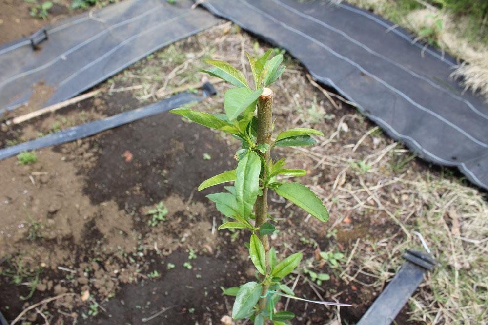 畑の隅に植えたアーモンドの樹